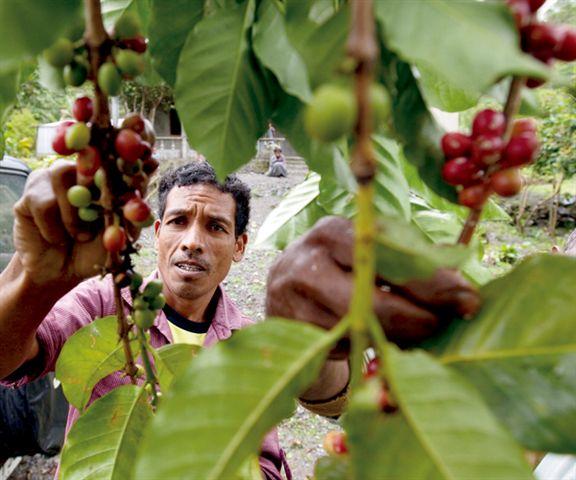 Maubere Mountain Coffee是100%天然野生Arabica種咖啡豆,全人手採摘和處理。