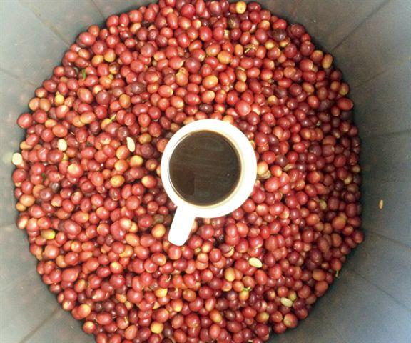 2014年Laclubar山區的咖啡樹收成不錯,農民從樹上摘下滿滿的成熟咖啡豆。