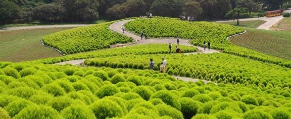 遠看像綠色的「絨毛球」的植物其實是綠葉掃帚草,在日本有夫婦圓滿的象徵意思。