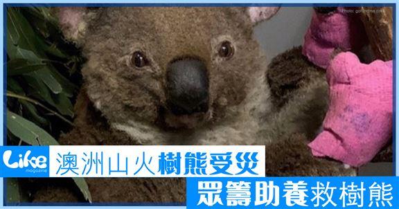 澳洲山火樹熊受災        眾籌助養救樹熊