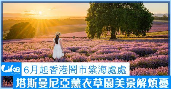 6月起香港鬧市紫海處處│塔斯曼尼亞薰衣草園美景解煩憂