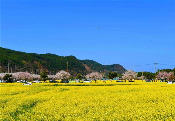 到江原道三陟市孟芳油菜花花田景色,更有櫻花道作襯托,美上加美。