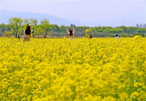 每年到咗4月中旬,河中島舉目係金黃油菜花和青色嘅青麥。