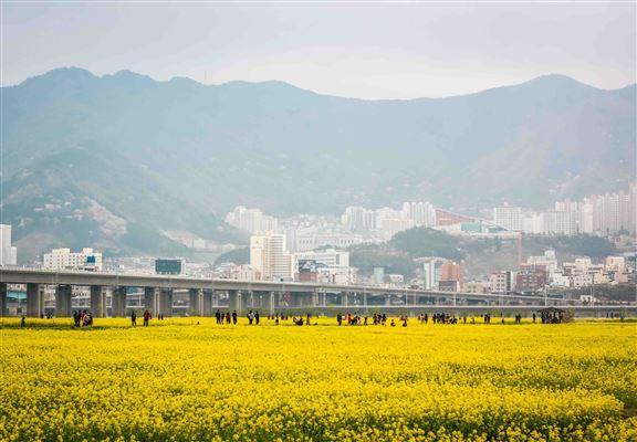 鄰近釡山機場嘅洛東江邊有大片油菜花田。