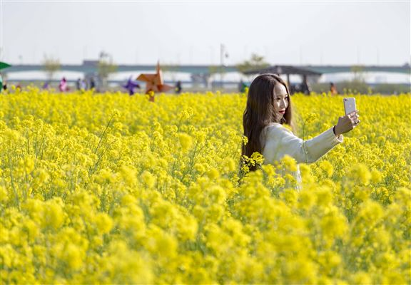 金黃色嘅油菜花和藍天白雲構成一幅美不勝收嘅圖畫,吸引很多人專程去打卡。