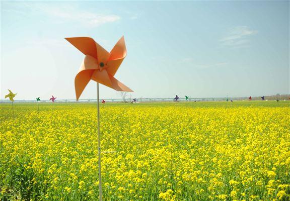 花田裡置有多種顏色嘅風車。