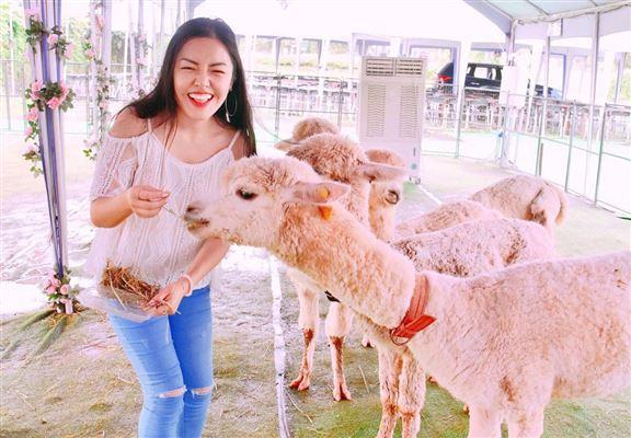 花$60購買飼料一份,便可體驗親飼小羊駝。