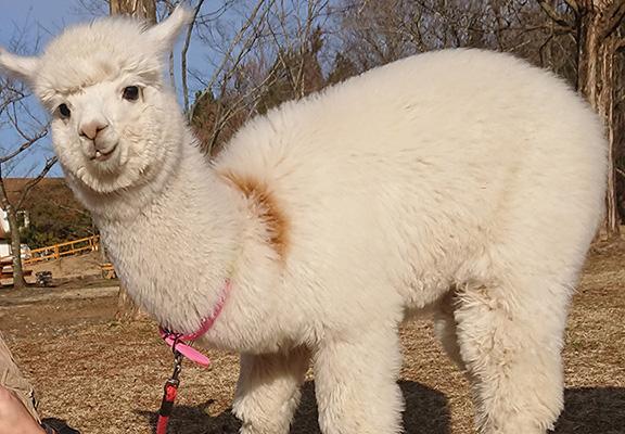 遊人可近距離接觸多種動物包括羊駝。